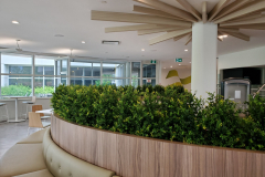 Artificial boxwood bushes in a Mississauga office cafeteria