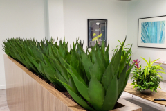 Artificial Agave plants in a Mississauga cafeteria lounge area