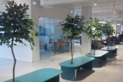Custom Ficus benjamina 'Benji' Trees in a downtown Toronto office