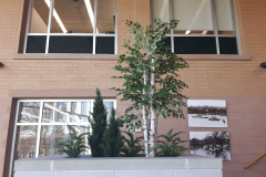 Artificial birch trees, cedars and ferns update a municipal office planter.