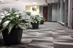Aglaonema 'Diamond Bay' accent a row of workstations in this Oakville office