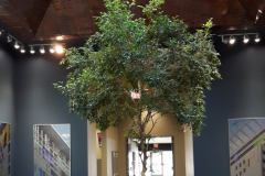 20ft Ficus benjamina is the focal point in the center of this Mississauga corporate office