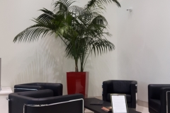 Kentia Palm in Lechuza Cubico 50 container with an overall height of 10 ft.