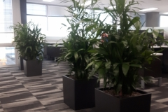 Bamboo palms in modern Cube containers act as space dividers and also dampen sound in this Oakville office