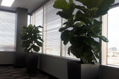 Spectacular Fiddle-Leaf Fig tropical trees, bush form, in a Mississauga office. Containers are Lechuza Cubico 40.