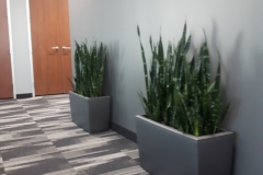Snake Plants in Cararo containers soften an open space