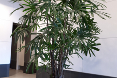 Large Lady Palm in a Mississauga office tower lobby.
