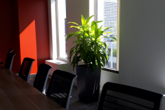 Large Limelight Dracaena in Lechuza Cubico 40 container adds greenery to a corporate boardroom in a North York office.