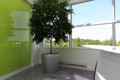 Ficus benjamina (Weeping Ficus), 7ft in height in Lechuza Classico container enhances the ambiance of a corporate collaboration area in a Mississauga office