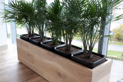 Majesty Palms in a custom planter in a Mississauga office lunchroom