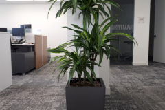 Dracaena 'Lemon-Lime'  cane set in a Lechuza Cubico 30 container