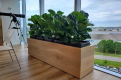 Fiddle-Leaf Fig bush forms in custom planter add greenery to an Oakville office lunchroom
