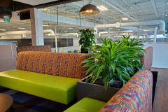 Dracaena 'Lemon-Lime' in a Mississauga office cafe