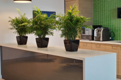 Neanthe Bella table-top plants provide a screen to divide the cafe area from the main reception area in this Oakville office.
