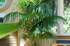 Elegant Kentia Palm in an atrium