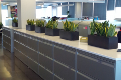 Snake plants in rectangular table-top planters