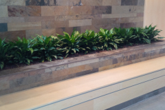 A mass planting of Aglaonema in a Markham office lobby