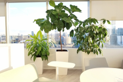 Grouping of Fiddle-Leaf Fig, Umbrella Tree and Dracaena Limelight bring the outdoors in to this high rise office in Toronto