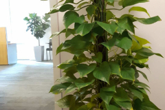 Totem Neon Pothos is a popular tropical plant in a Toronto office.125