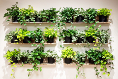 Simple and inexpensive living wall with Pothos varieties.
