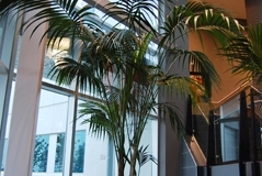 Large tropical Kentia Palm tree softens the stairwell