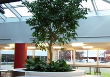 Specimen indoor tropical tree (Ficus benjamina, Weeping Fig) surrounded by tropical foliage plants (Aglaonema spp.) in a Brampton cafeteria setting