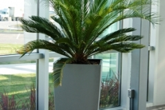 Large cycas (Sago Palm) is a striking feature of this atrium style office entrance