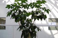 Skylight view of interior tropical tree in a Brampton office building (Schefflera 'Amate', Umbrella Tree)