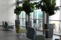 Ficus Iyrata (Fiddle-Leaf Fig Tree) in Aurora large cafeteria setting