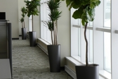 Yucca and Fiddle-Leaf Fig Trees installed in Mississauga office