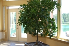 A 7-8 foot Grapefruit Tree in a Lion Square container at a Caledon residence
