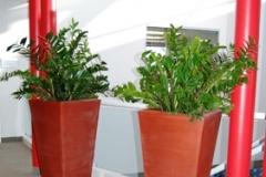 Specimen ZZ Plants (Zamioculcas zamifolia) in large modern containers