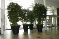 16ft Rhapis excelsa (Lady Palm) trees in a Toronto hospital lobby
