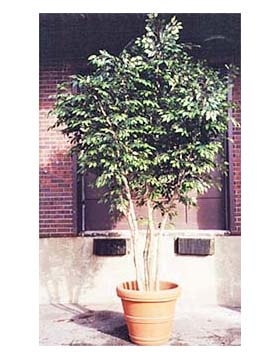 Artificial interior office plants products moore park plantscapes tropical office plants - Tall office plants ...