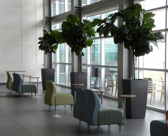 Ficus Iyrata in Aurora large cafeteria setting
