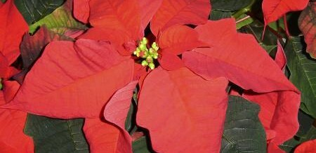 Poinsettia Time! Happy Holidays!