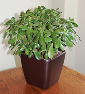 Jade table-top plant in Lechuza Quadro container