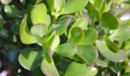 Plant of the Month-Jade Plant