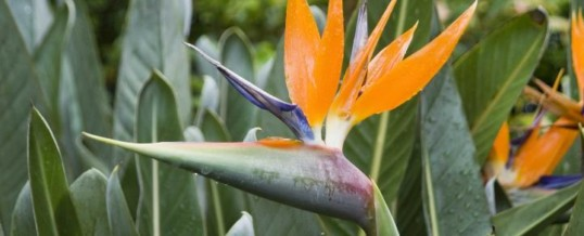 Plant of the Month- Bird of Paradise