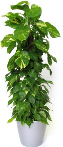 Golden Pothos Ivy (Epipremnum aureum) floor plant
