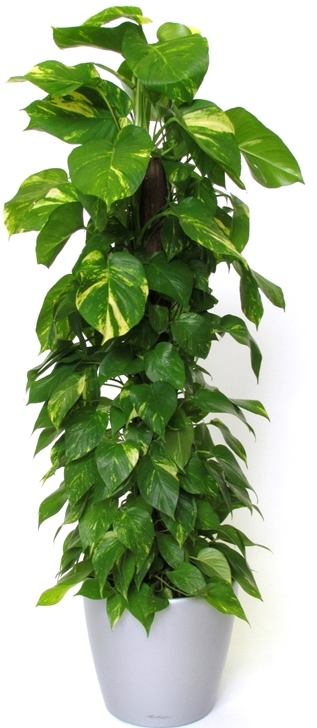 Plant Of The Month Pothos Ivy Moore Park Plantscapes