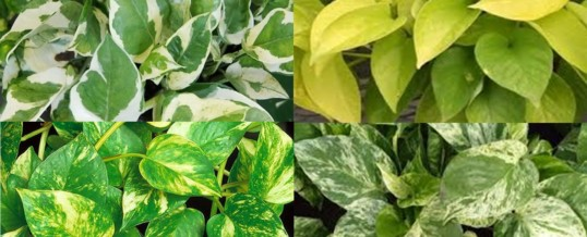 Plant of the Month – Pothos Ivy