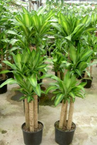 Corn Plant (2)