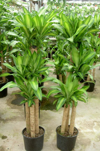 Plant of the month corn plant moore park plantscapes tropical office plants - Most popular house plants ...