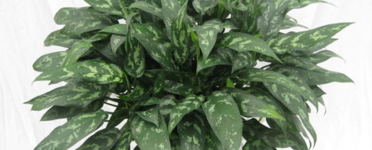 Plant of the Month – Aglaonema