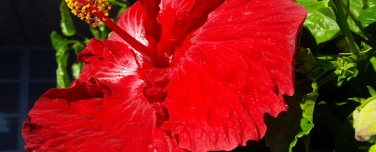 Hibiscus – Plant of the Month