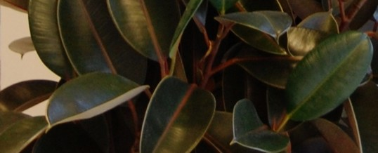 Plant of the Month – Rubber Plant