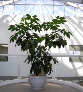 Specimen Umbrella Tree