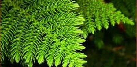 Plant of the Month – Norfolk Island Pine Tree