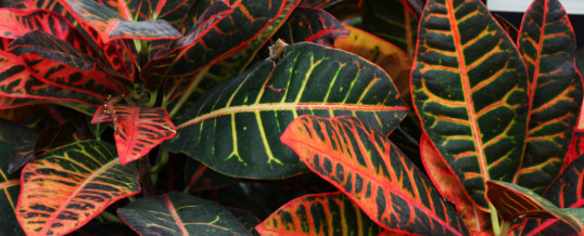 Plant of the Month- Croton (Codiaeum variegatum)